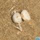 Little Nipper Crab