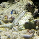 Redspotted Blenny