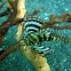 Shortfin Lionfish (juvenile)