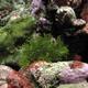 Lacey Scorpionfish