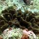 Meandering Coral