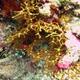 Gorgonian Sea Fans