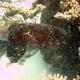 Australian Giant Cuttlefish