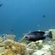 Masked Grouper