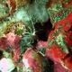 Lysmatella Shrimp
