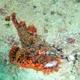 Tasseled Scorpionfish