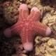 Granulated Sea Star