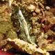 Dark-spotted Flatworm
