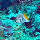 Crosshatch Butterflyfish