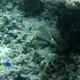 Scribbled Rabbitfish