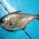 Moluccan Sweeper
