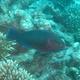 Swarthy Parrotfish