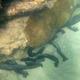 Snakefish Sea Cucumber