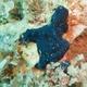 Arabian Crust-sponge