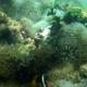 Bulb-tentacle Sea Anemone