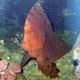 Red Indianfish