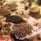 Orange-lined Triggerfish