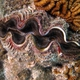 Large Giant Clam