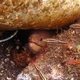 Anton Bruuni Cleaner Shrimp