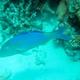 Goldsaddle Goatfish