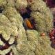 Anchor Coral