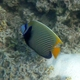Emperor Angelfish