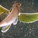 Ocellated Waspfish