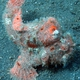 Freckled Frogfish