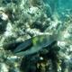 Dark-capped Parrotfish