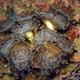 Hammerhead Coral