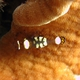 Pacific Clown Anemone Shrimp