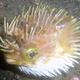 Orbicular Burrfish