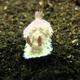 Aureopurpurea  Nudibranch