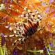 Zebra Urchin Crab