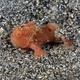 Painted Frogfish (Juvenile)