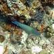Fivesaddle Parrotfish