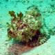 Mozambique Scorpionfish