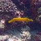 Chinese Trumpetfish