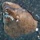 Stargazer Snake Eel