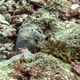 Flagtail Triggerfish (Juvenile)
