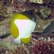 Pyramid Butterflyfish