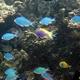Threadfin Anthias