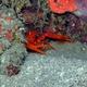 Voigtmann's Reef Lobster