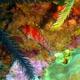 Dwarf Hawkfish