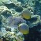Redfin Butterflyfish