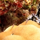 Striped Pygmygoby