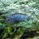 Zebra Cichlid