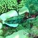 Redband Parrotfish (juvenile)