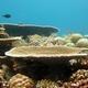 Fine Table Coral