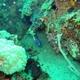 Emperor Angelfish (Juvenile)